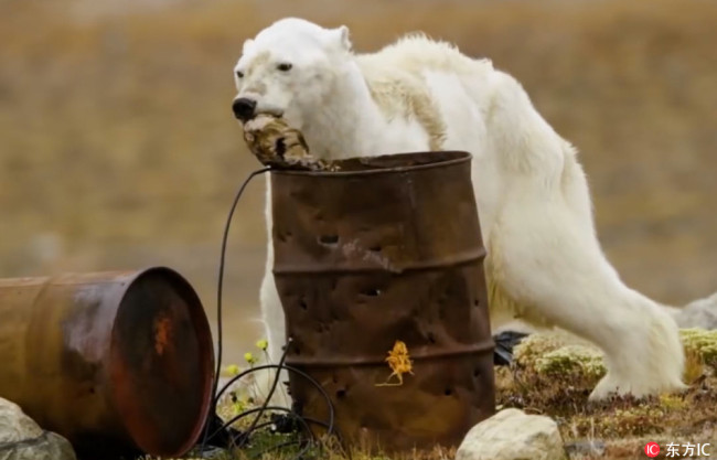 Photos are published showing a scrawny polar bear rummaging in the garbage for food in an abandoned fishing camp on Somerset Island of Nunavut in December. [Photo: IC]