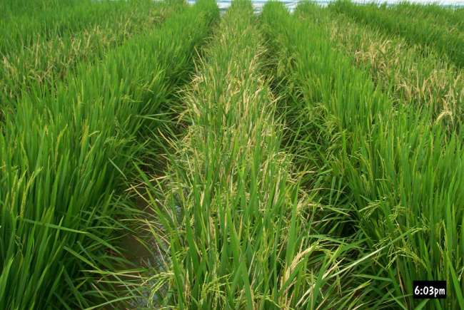 Huahui-1, a genetically engineered rice developed by Huazhong Agricultural University [File Photo: stdaily.com]