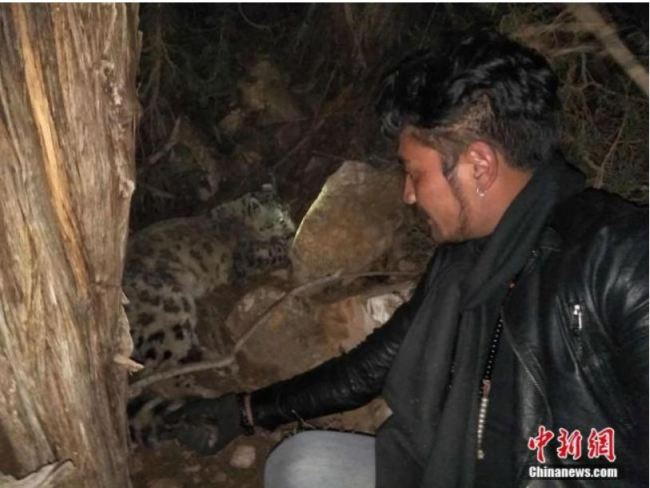 An injured snow leopard saved by herders in Yushu Tibetan Autonomous Prefecture, northwest China's Qinghai Province, November 24, 2017. [File Photo: Chinanews.com]