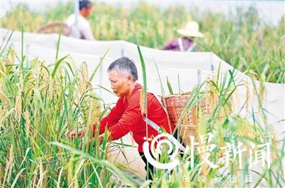 New Strain Of Tall Growing Rice Successfully Harvested In