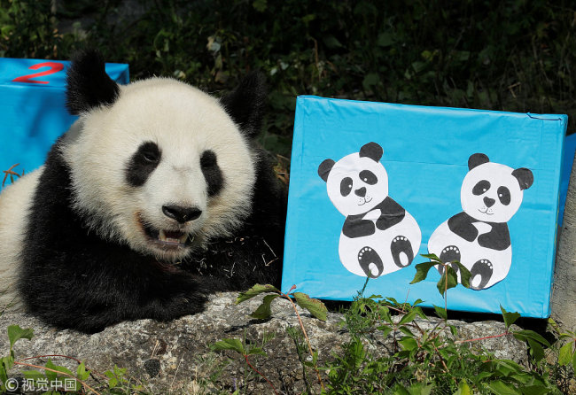 Giant Panda cub Fu Ban rests next to a parcel containing food on its second birthday at Schoenbrunn Zoo in Vienna, Austria, August 7, 2018. [Photo: VCG]