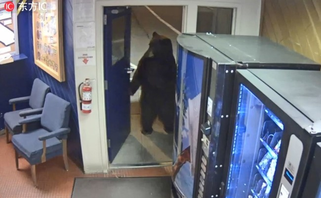 The bear is seen through a window standing on its back legs outside the Donner Pass Commercial Vehicle Enforcement Facility. [File Photo: IC]