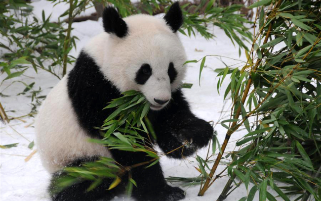Giant panda Fu Feng has bamboos in the snow-covered Panda garden at Zoo Vienna in Vienna, Austria, on Dec. 1, 2018. [Photo: Xinhua]