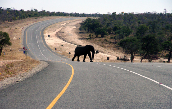 An elephants crosses the main highway leading to Zambia in Northern Botswana, July 12, 2014. [File photo: AP]