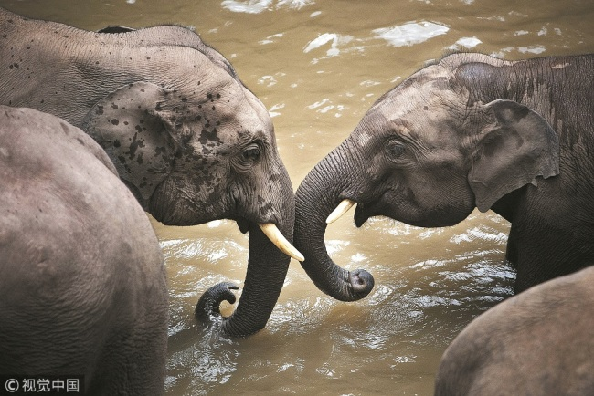 This undated photo shows two wild elephants playing together in Yunnan Province. [FIle Photo: VCG]