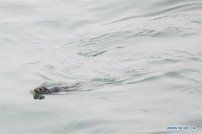 Photo taken on April 11, 2019 shows a spotted seal swimming after it was released back into the wild in Dalian, northeast China's Liaoning Province. [Photo: Xinhua]