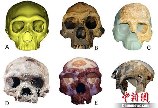 Different types of ancient human fossils in contrast: A. Human fossil from Hualong Cave  B. Peking Man fossil from Zhoukoudian site  C. Fossil of Nanjing Homo erectus D. Human fossil found at the Dali Man site E. Human fossil found at Jinniushan Site F. Fossil of Maba Man [Photo:Chinanews.com]