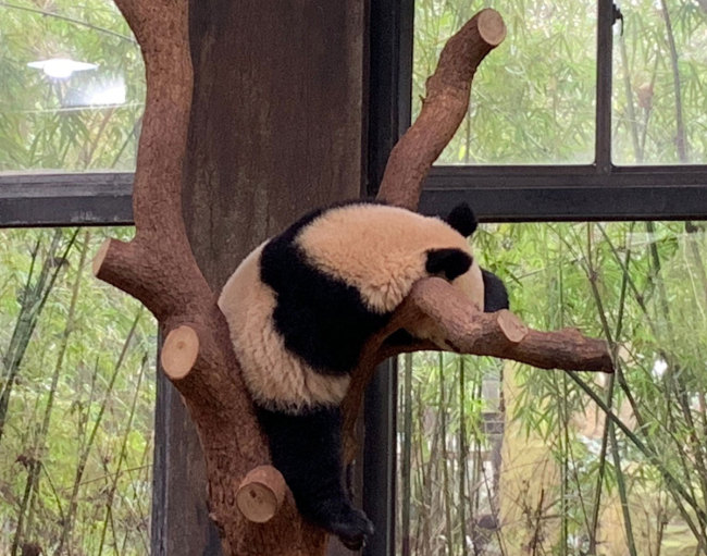 A giant panda sleeps during the day at the Shanghai Wild Animal Park, March 10, 2019. [File photo: IC]