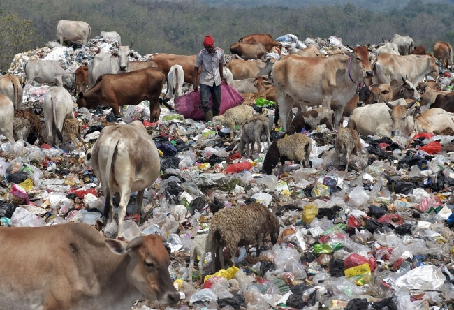A herd(群 qún) of cattle(牛 niú) feed on trash(垃圾 lājī) at the Cikolotok landfill in Purwakarta, West Java, Indonesia, on August 9, 2019. [Photo: IC]