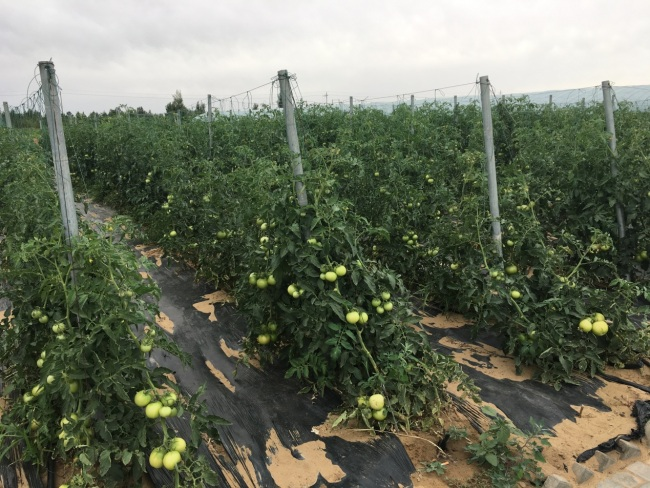 Tomatoes grow well in the farm. [Photo: from China Plus]