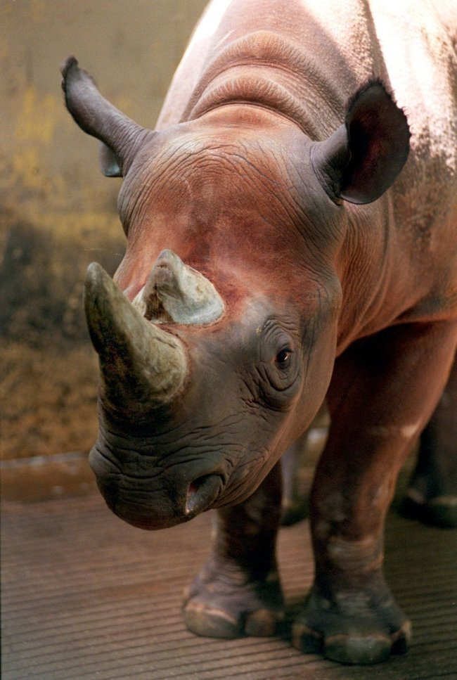 In this June 6, 1997 file photo, Spike, a rare black rhino, is shown at the Cleveland Metroparks Zoo in Cleveland, Ohio. [Photo: AP/The Plain Dealer, Scott Shaw]