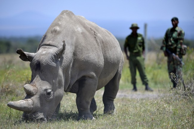 Najin, 30, and her offspring Fatu (unseen), 19, two female northern white rhinos, the last two northern white rhinos left on the planet, graze in their secured paddock on August 23, 2019 at the Ol Pejeta Conservancy in Nanyuki, 147 kilometres north of the Kenyan capital, Nairobi. [Photo: AFP]