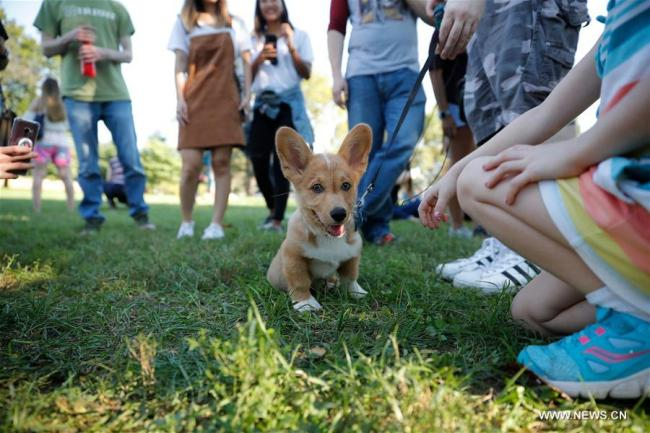 "Photo prise le 7 octobre 2018 montrant un corgi lors de l'événement ""Million Corg March"" à Washington D.C., aux États-Unis. (Xinhua/Ting Shen)"
